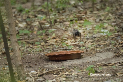 A Grey Fantail (Rhipidura albiscapa) prepares to land at the water bowl.